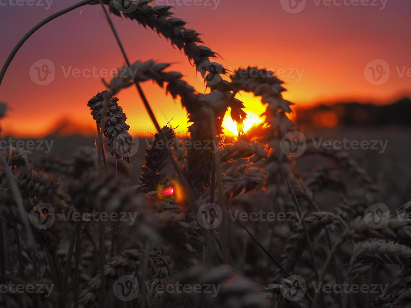 pôr do sol de milho foto