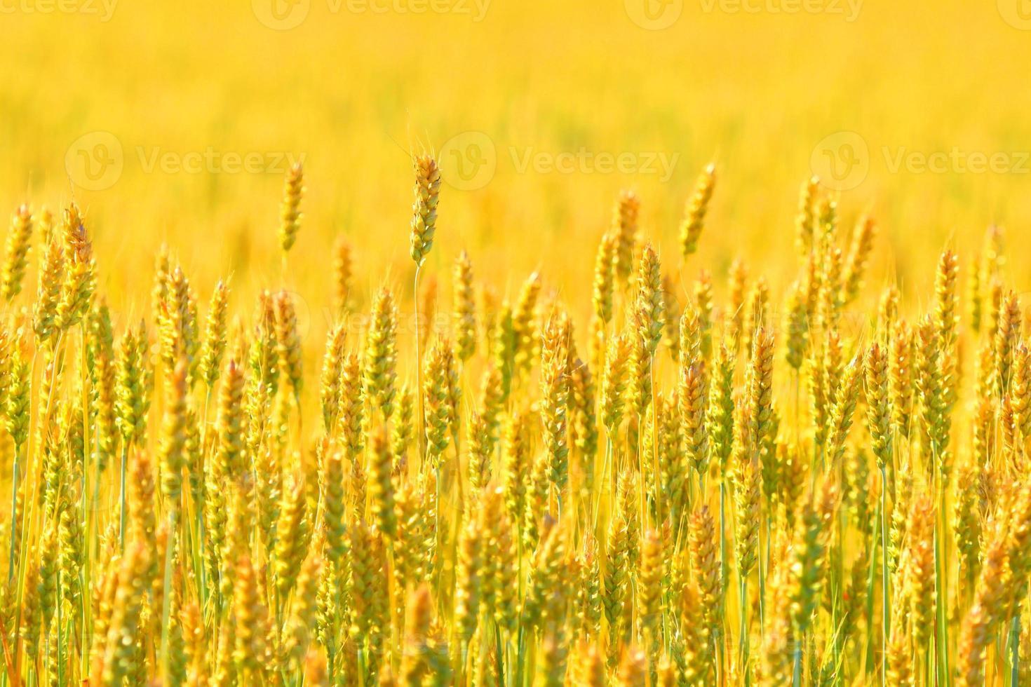 campo de agricultor de fundo de trigo foto