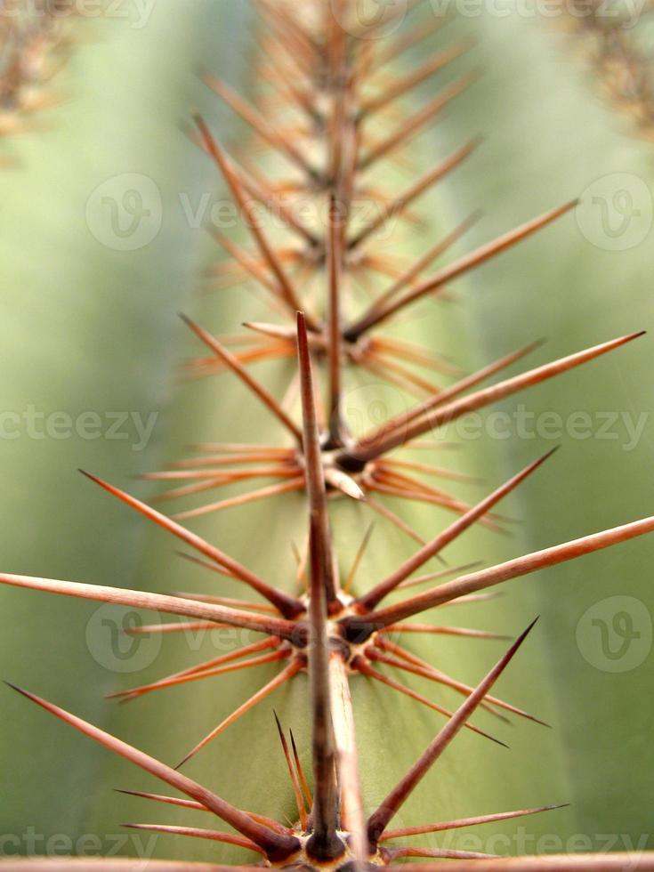macro de cacto saguaro foto