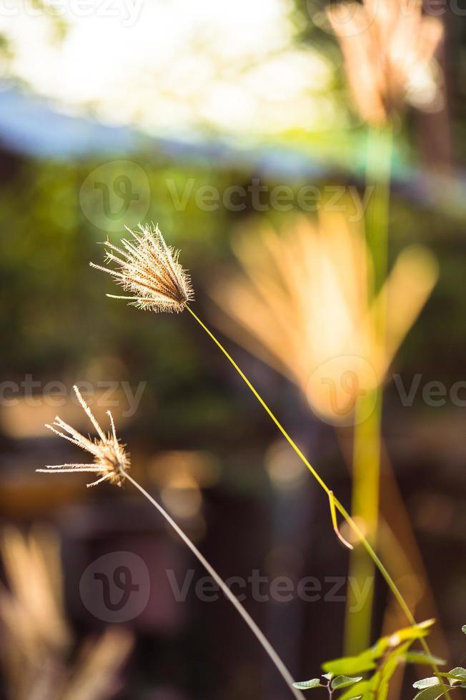 grama flor foto