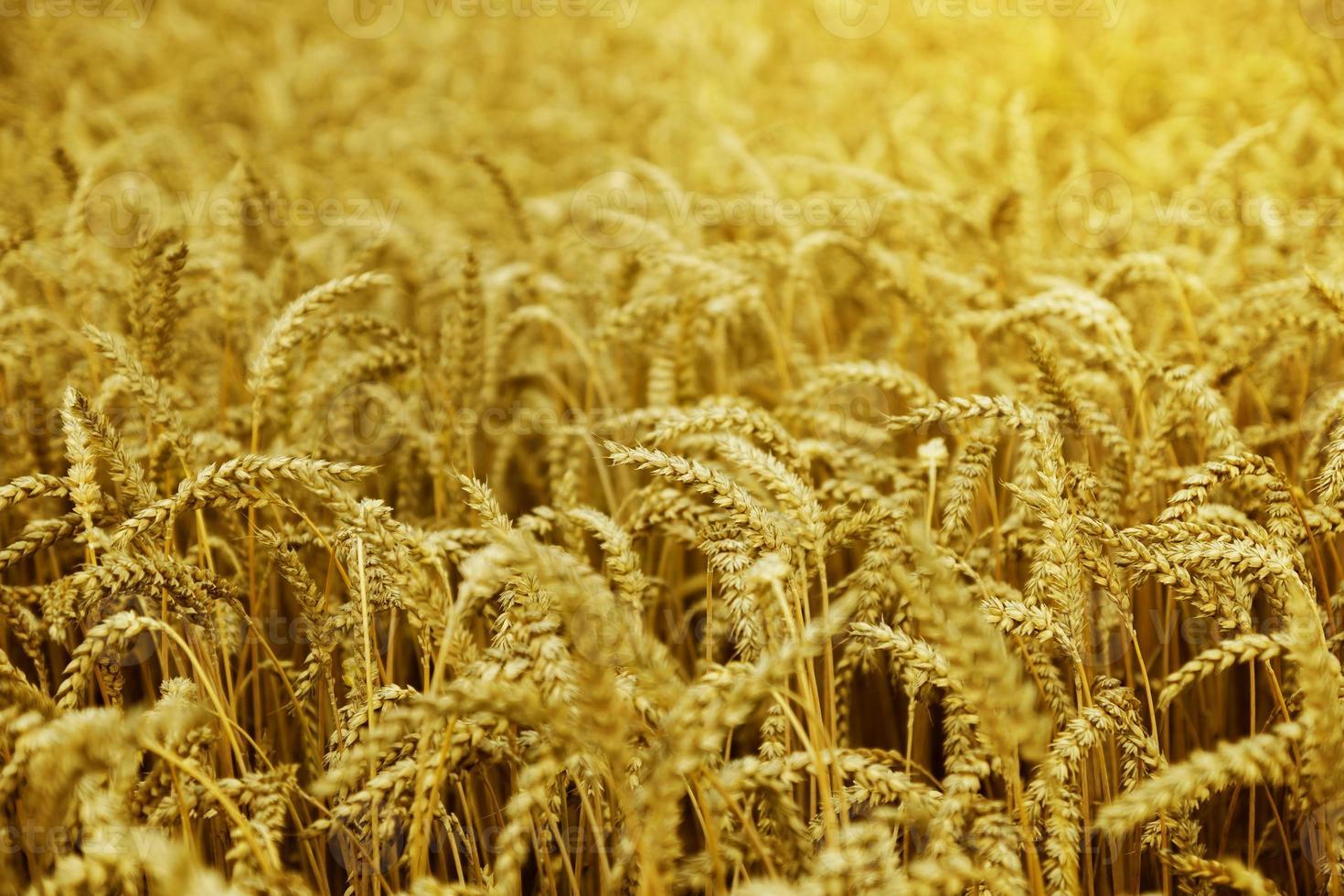 milho no campo ao pôr do sol foto