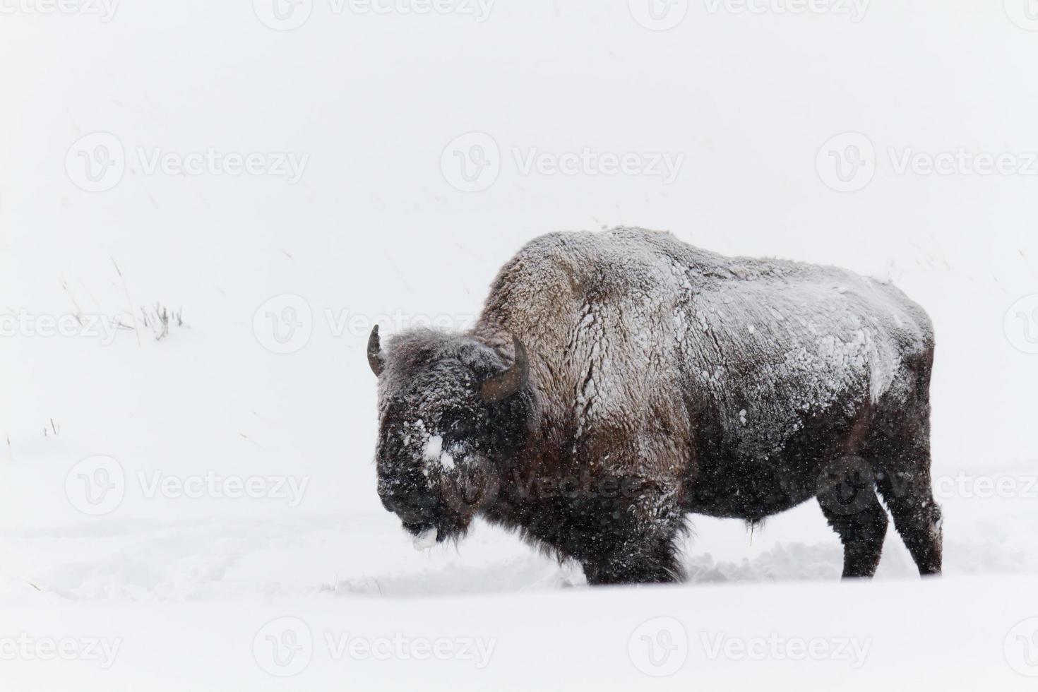 búfalo no inverno foto
