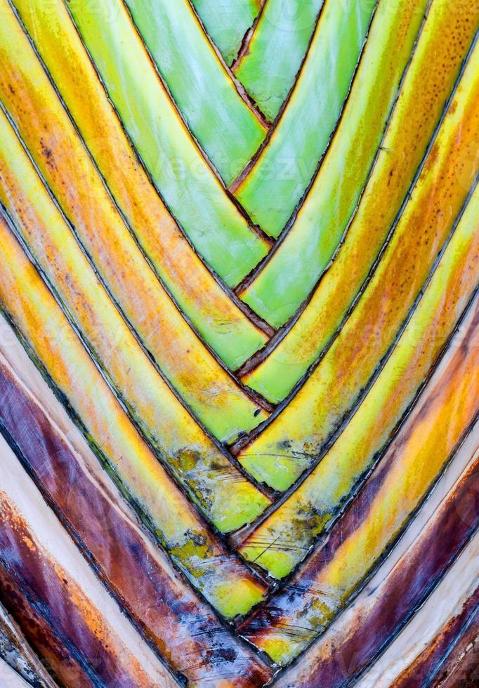 bases de folhas na palma da mão de um viajante (ravenala madagascari foto