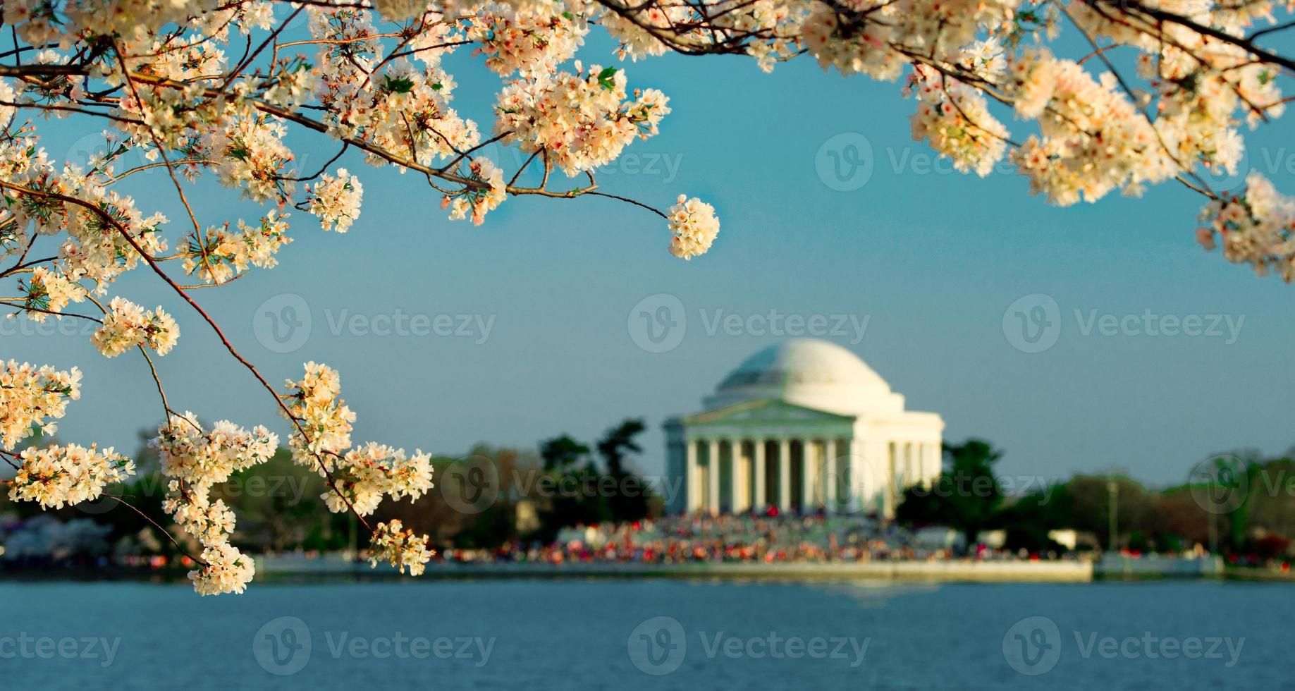flores de cerejeira em washington dc foto