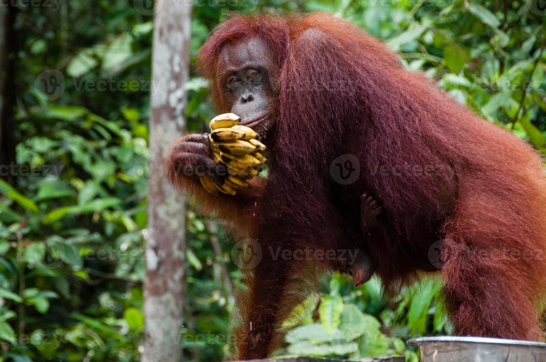 orang utan comendo bananas em bornéu indonésia foto