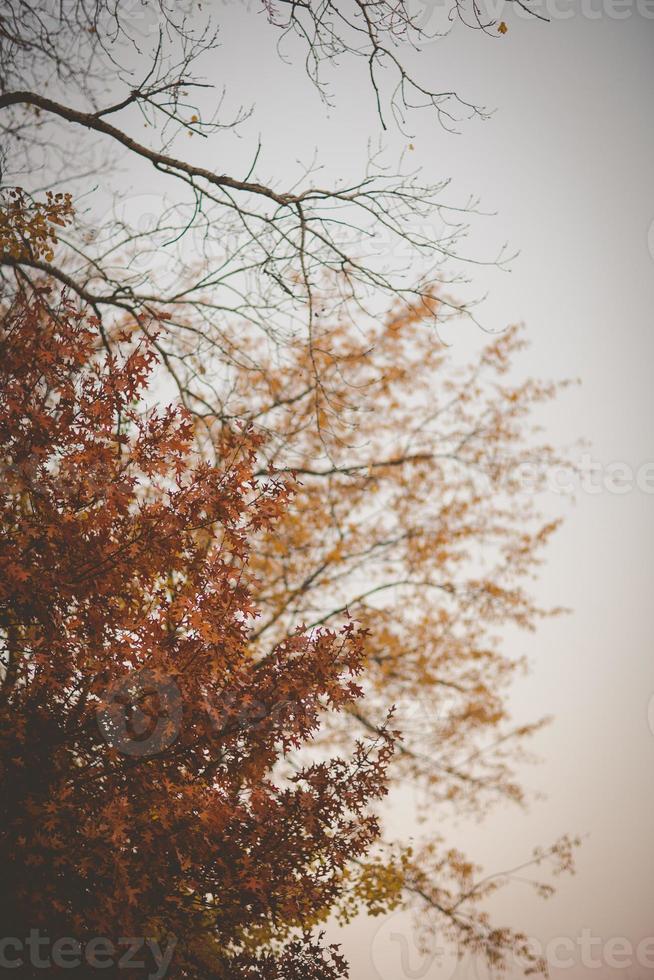 carvalho outono ou final da queda foto