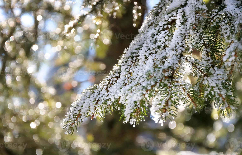 galho de árvore do abeto foto