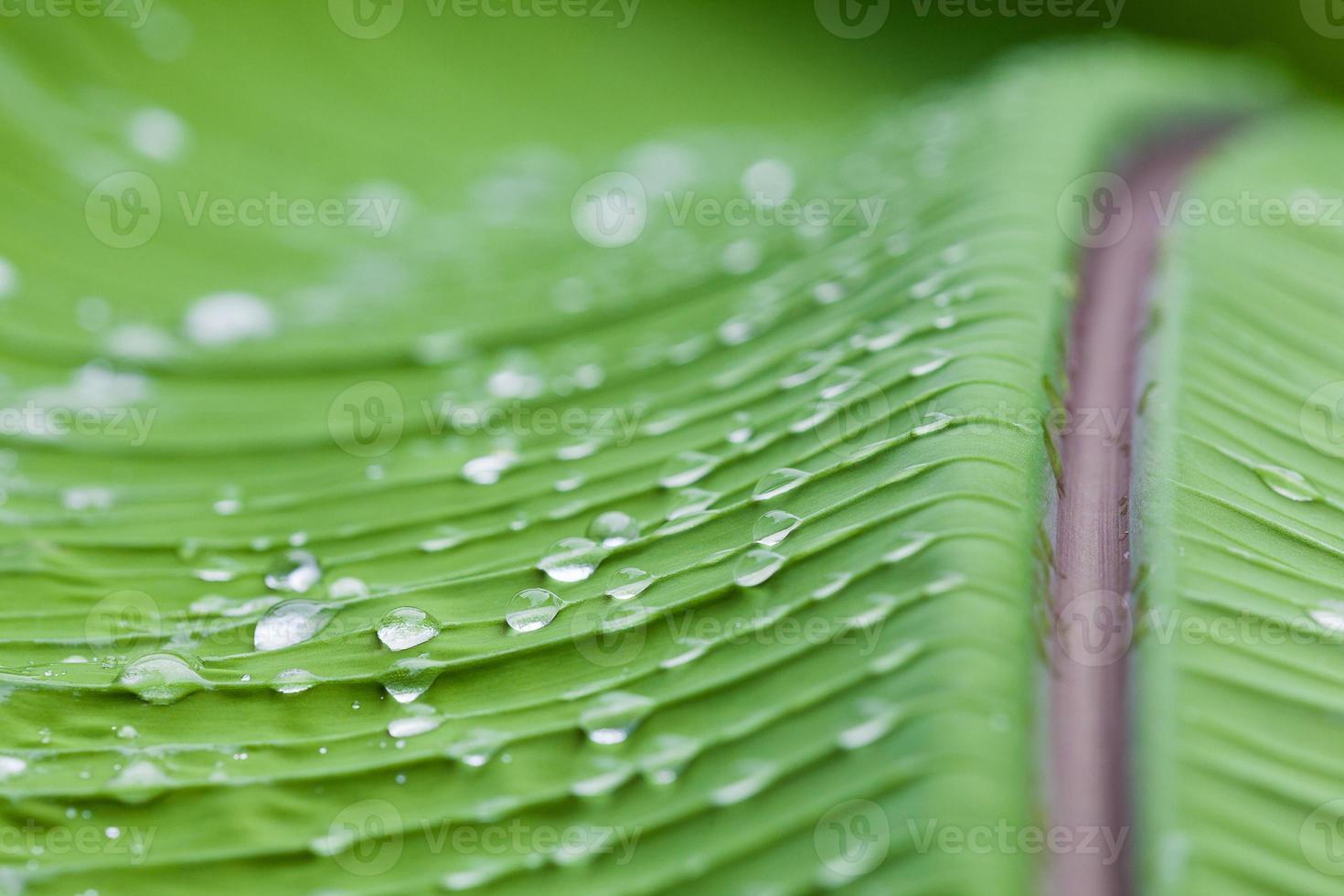 gotas de água na folha de bananeira foto