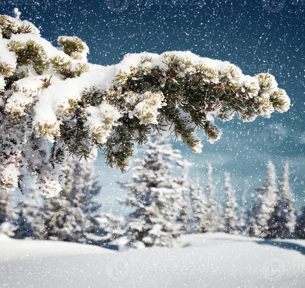 nevando na floresta de abetos foto