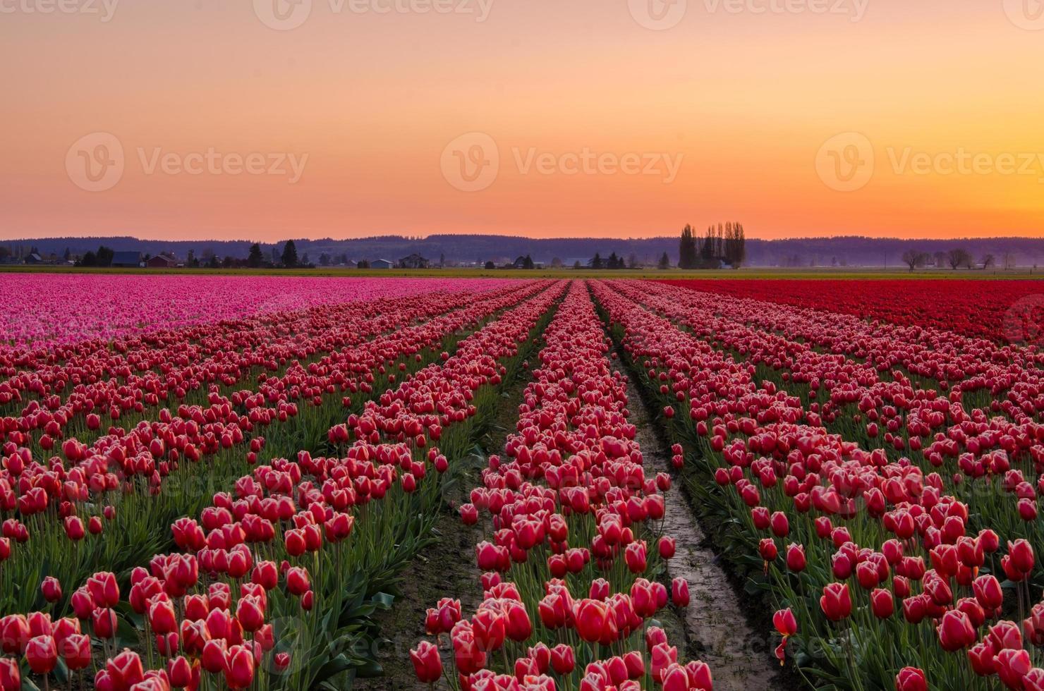 pôr do sol nos campos de tulipa do vale skagit foto