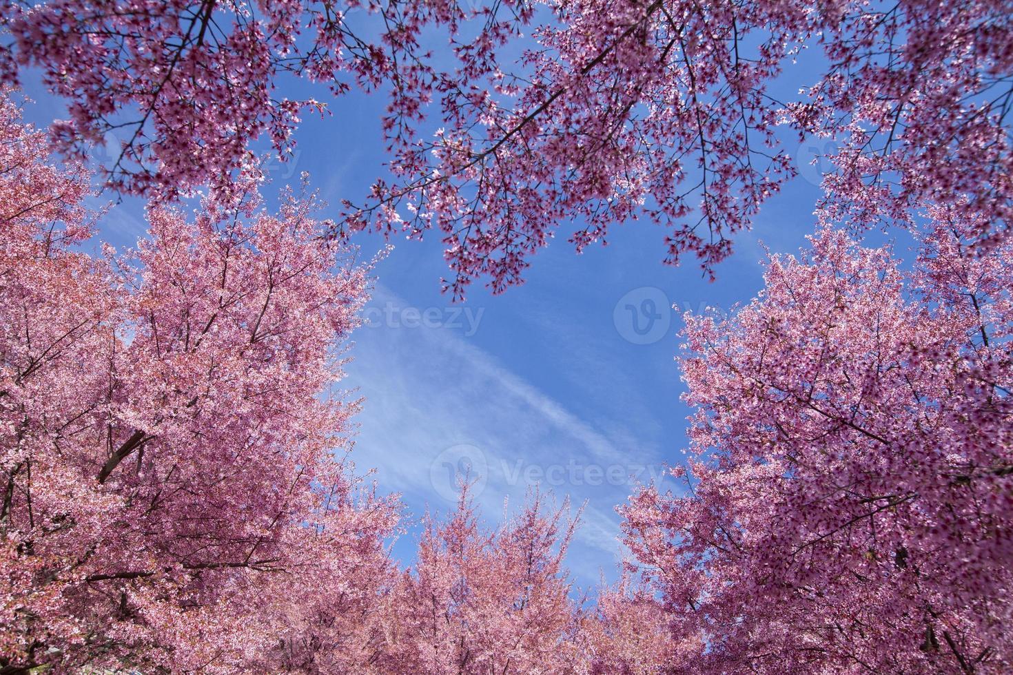 árvores de cerejeira foto