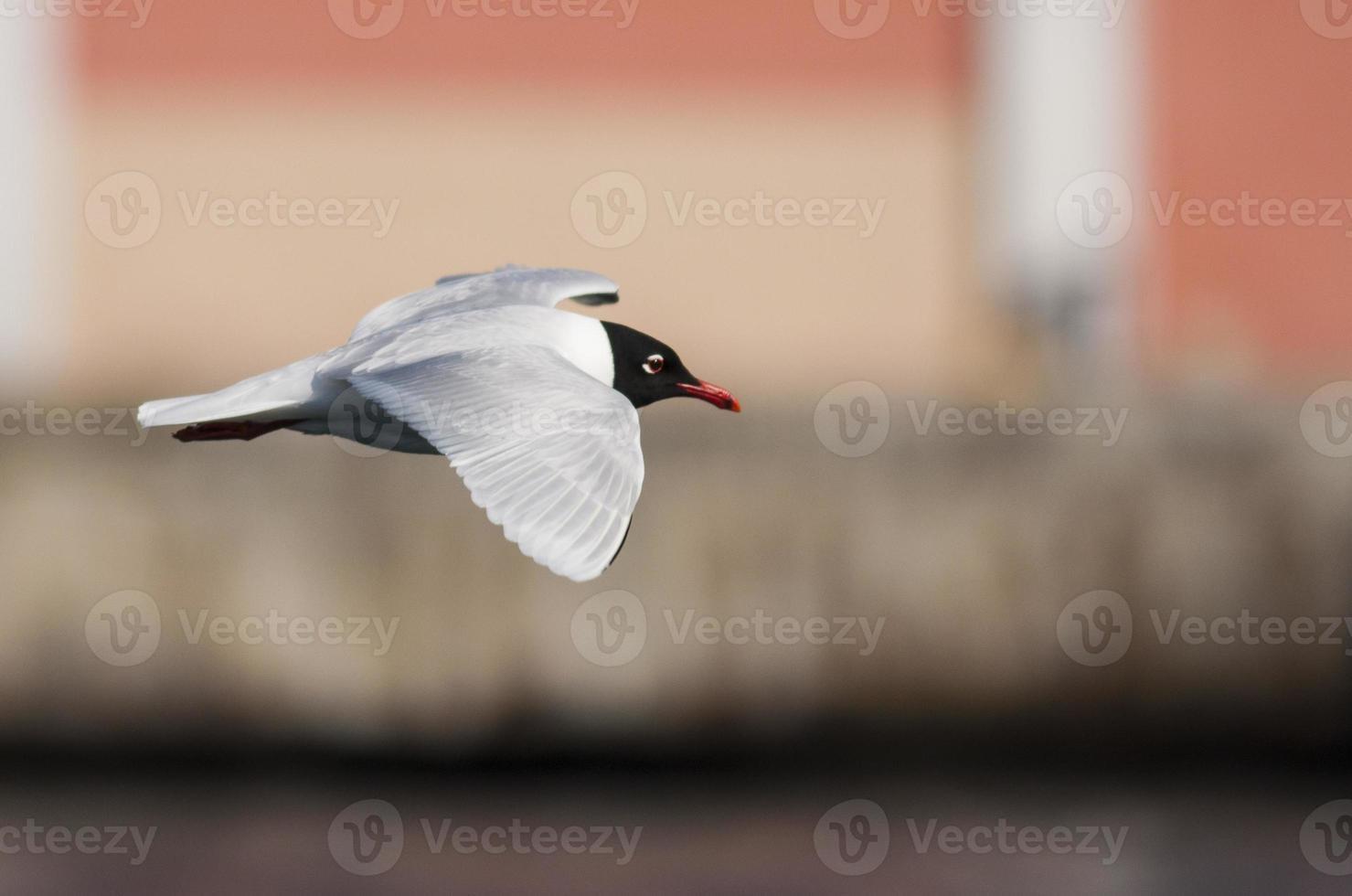 gaivota mediterrânea em plumagem de reprodução foto