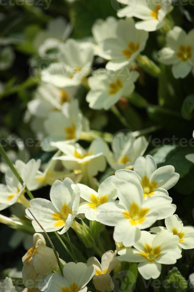 prímulas amarelo selvagem no prado primavera lago maggiore foto