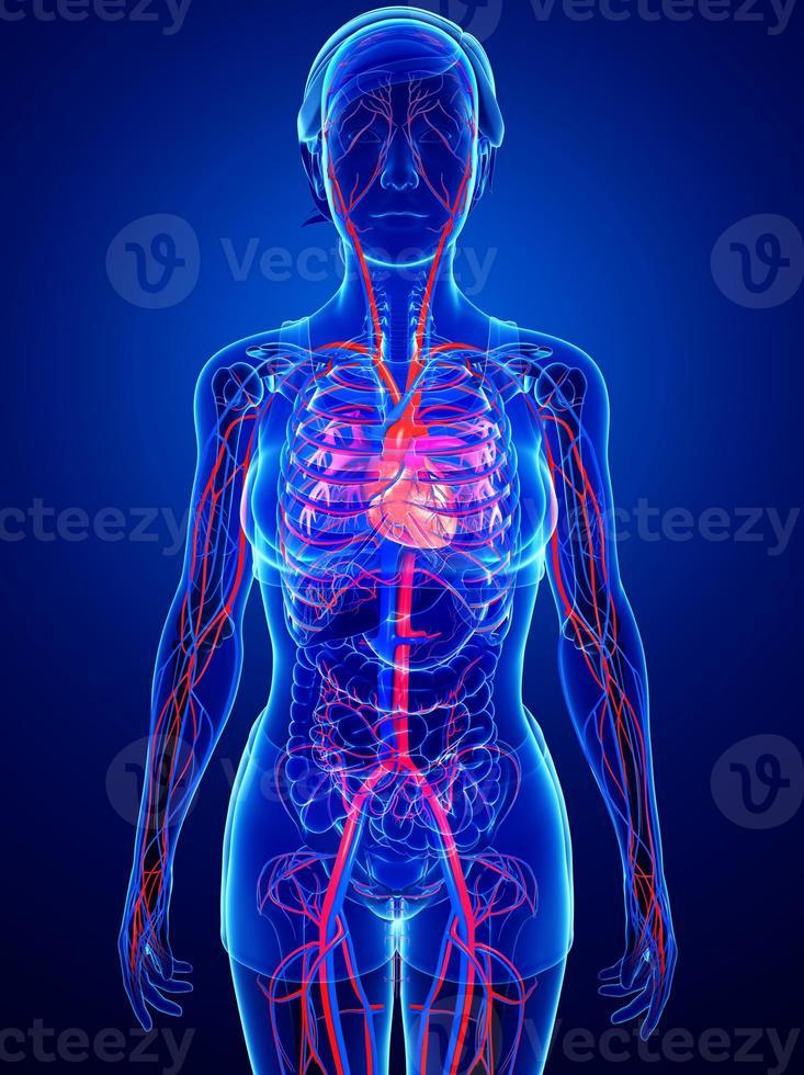 sistema circulatório feminino foto
