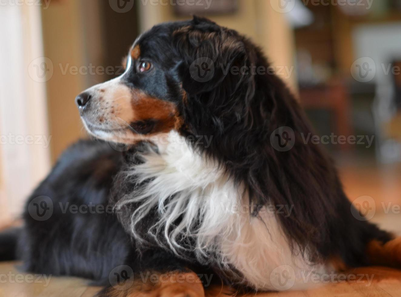 bernese mountain dog feminino foto