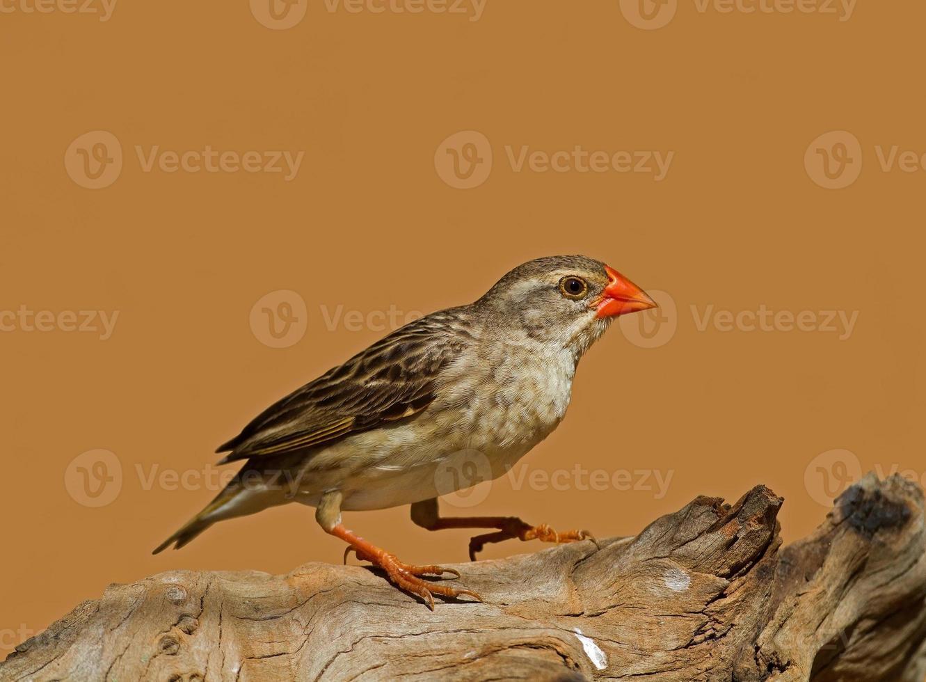 quelea de bico vermelho fêmea não reprodutora empoleirada no tronco foto