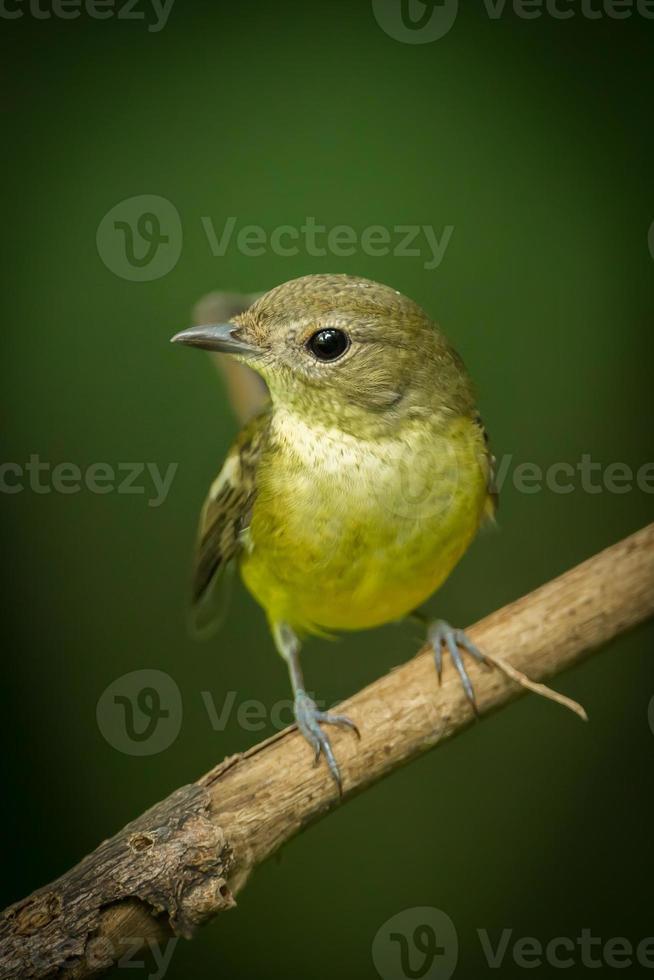 retrato de papa-moscas amarelo-rumped feminino foto