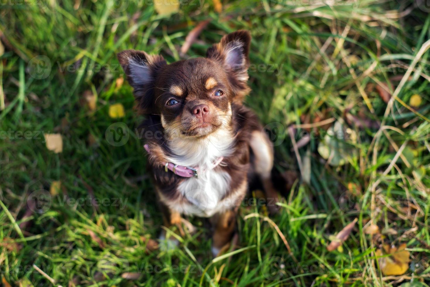 cachorro chihuahua, olhando para cima foto