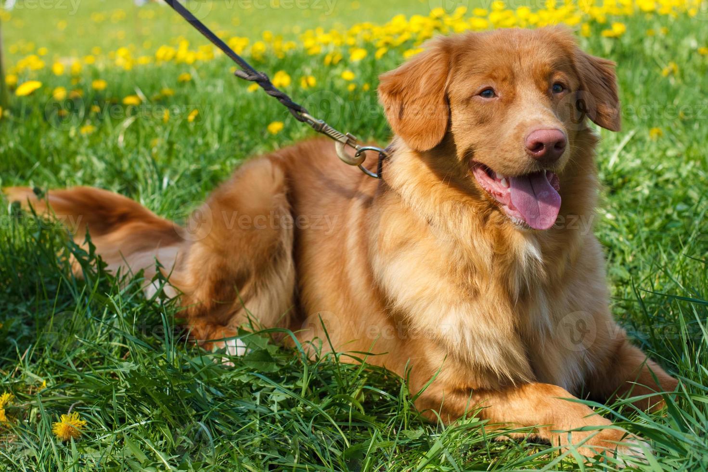 desenho vetorial, dois, cão, raça, nova escócia, pato, portagem, retriever foto