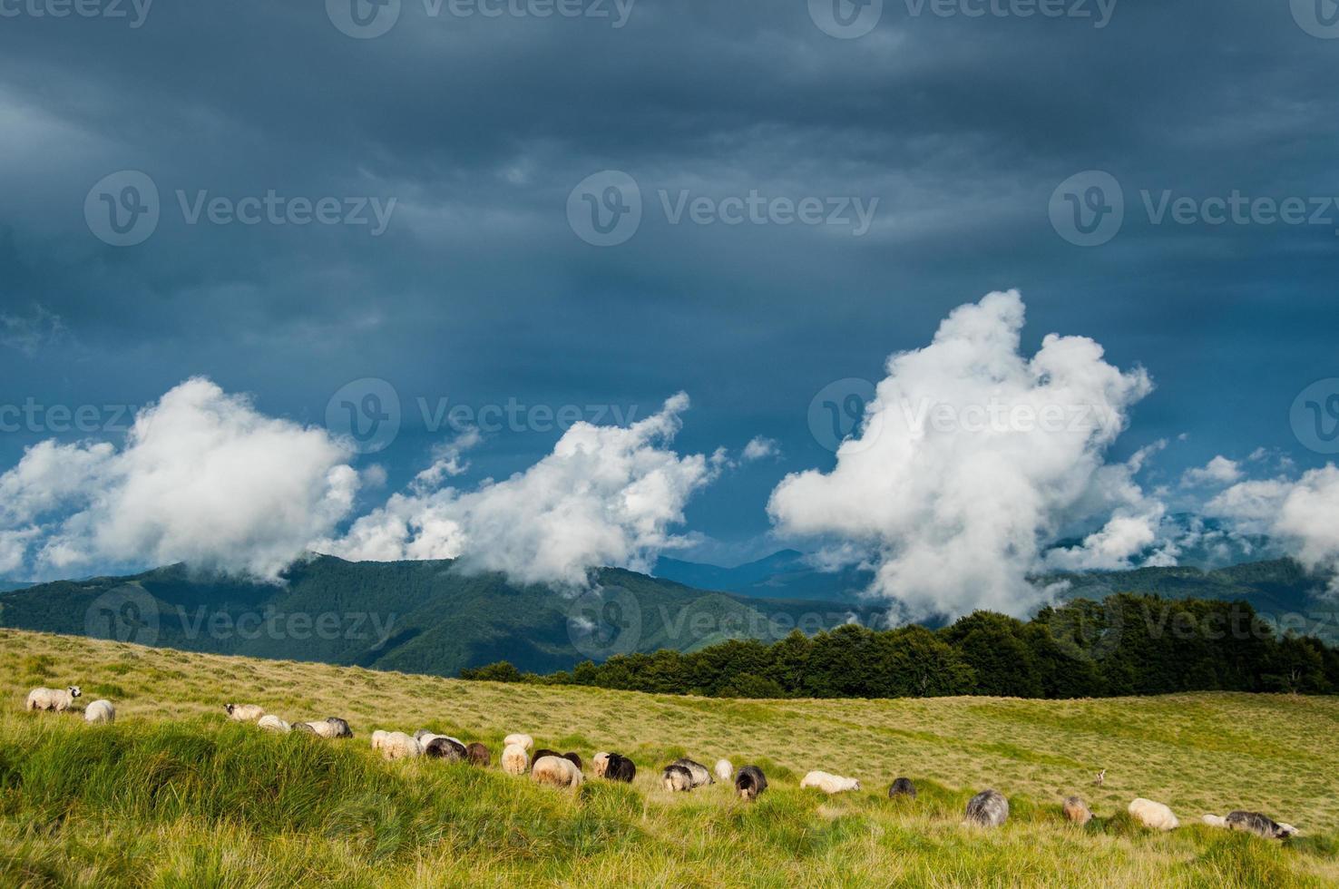 pastagem de ovelhas nas montanhas dos Cárpatos foto