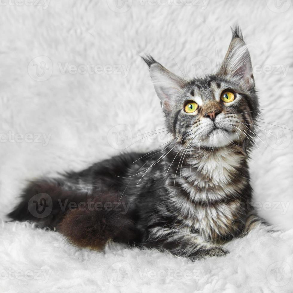 gato malhado preto maine coon posando em peles de fundo branco foto