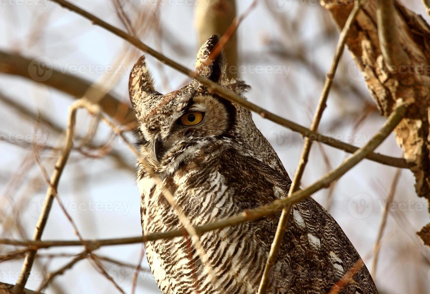 Corujão empoleirado na árvore de inverno foto