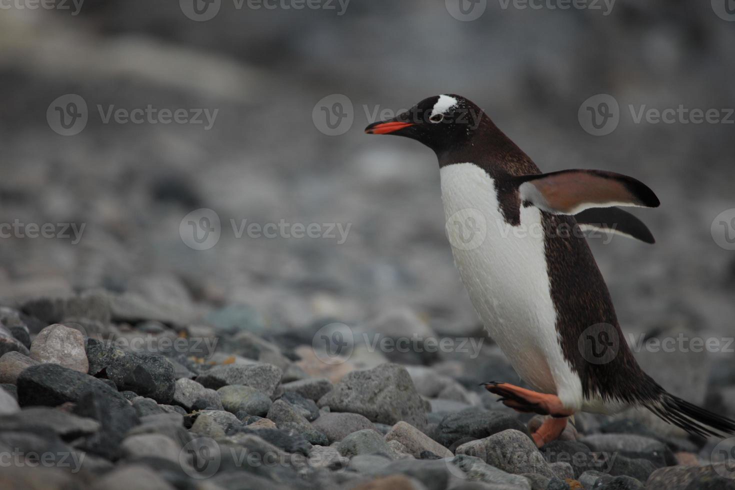 eselspinguine in der antarktis foto