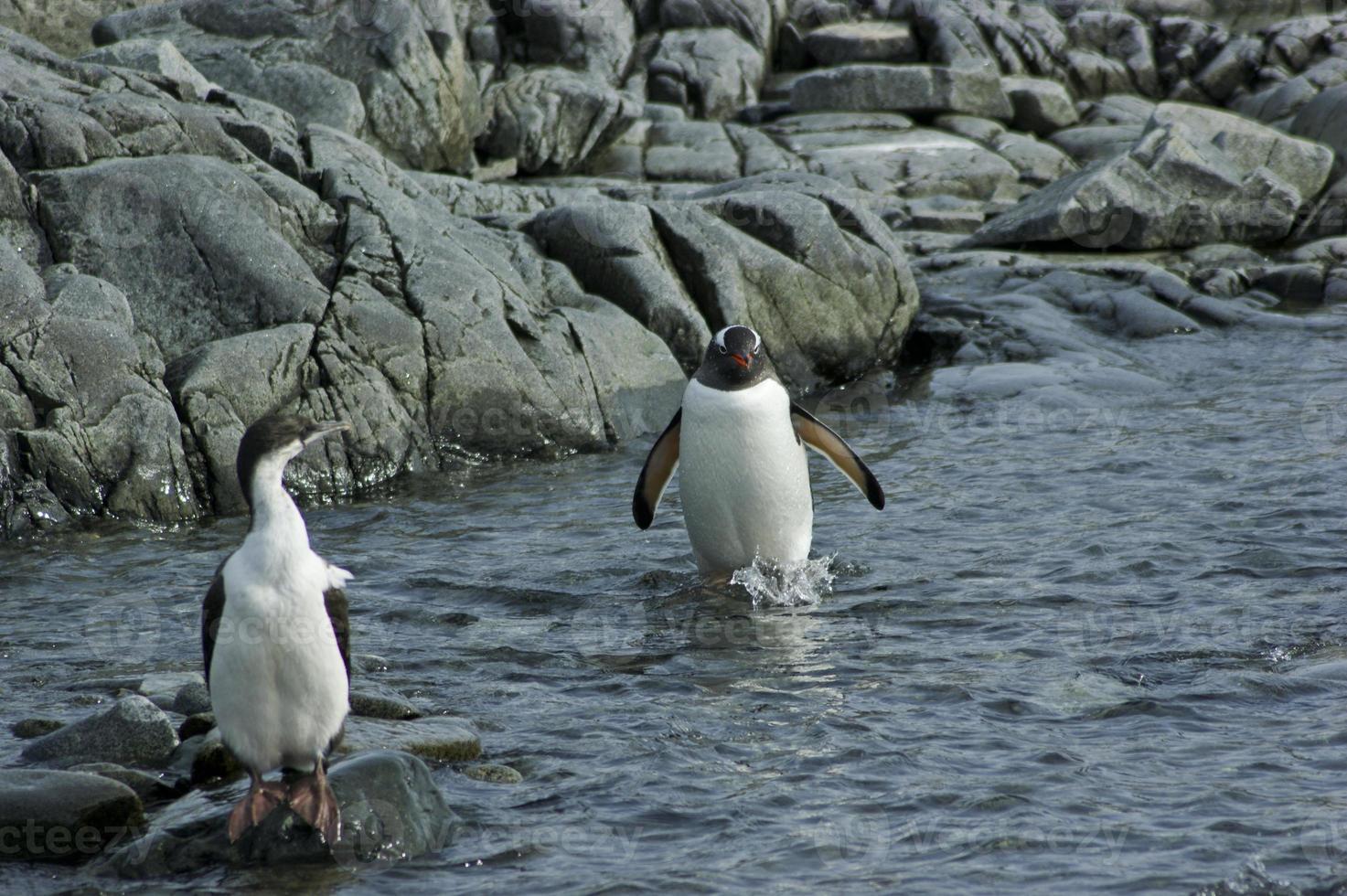 pinguim-gentoo andando pela água com um cormorão de olhos azuis foto
