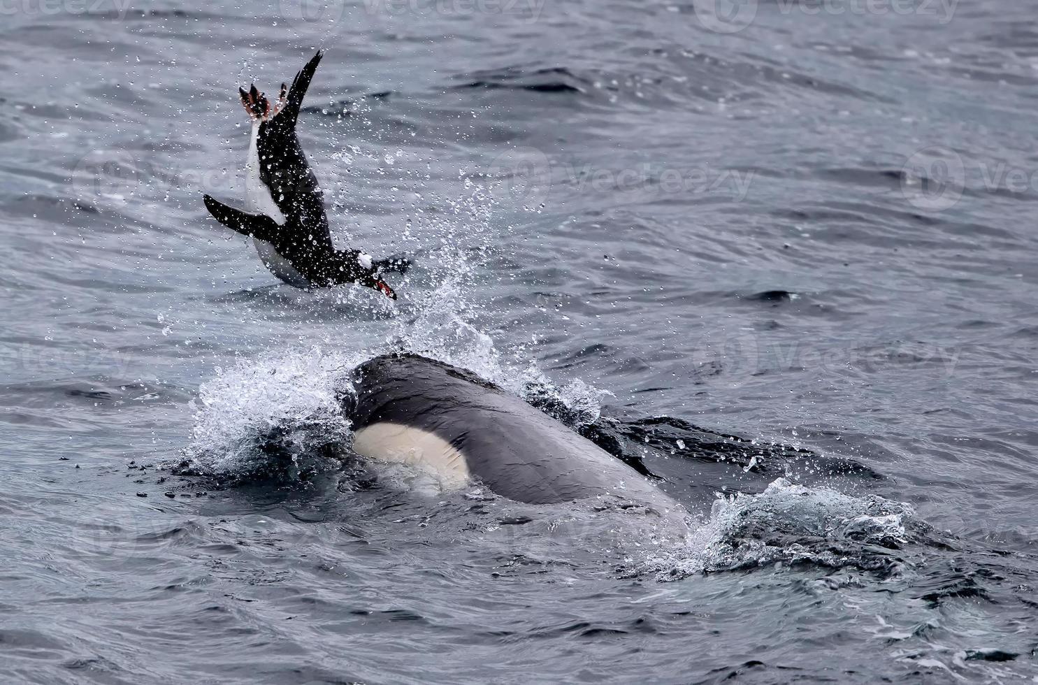 baleia assassina brincando com pinguim-gentoo foto