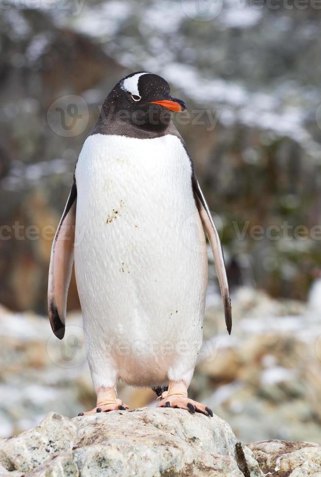 pinguim-gentoo que fica em uma rocha perto da colônia foto
