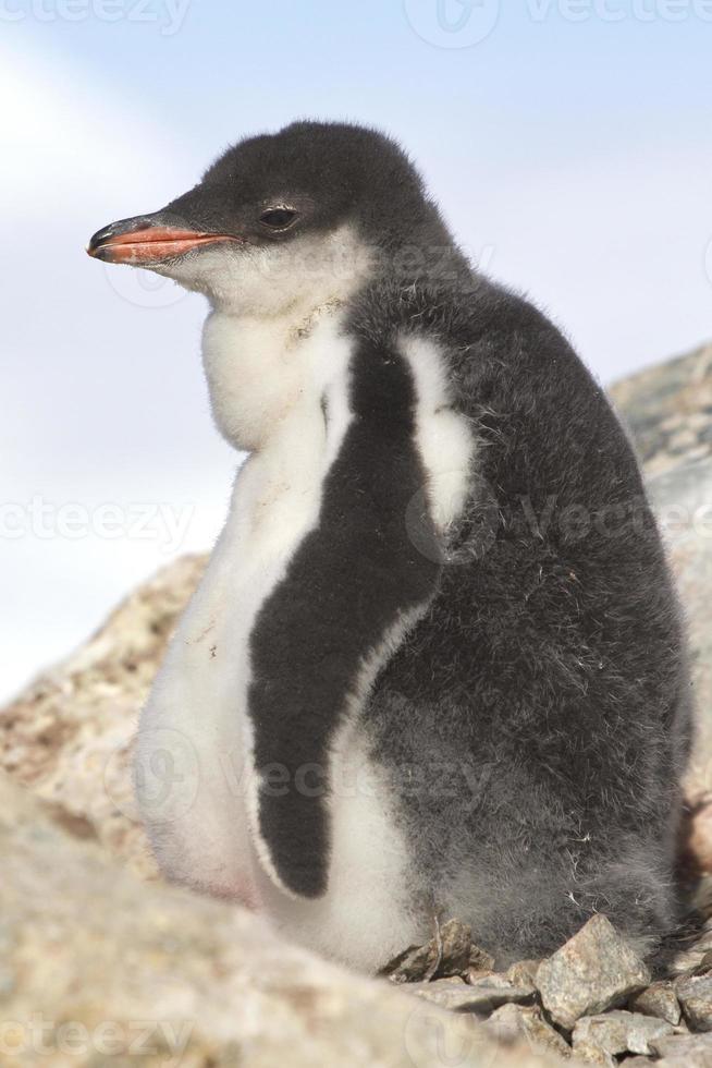 filhote de pinguim gentoo perto do ninho em uma tarde ensolarada foto
