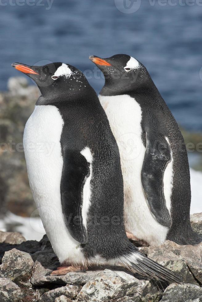 casal de pinguim gentoo em um dia ensolarado. foto