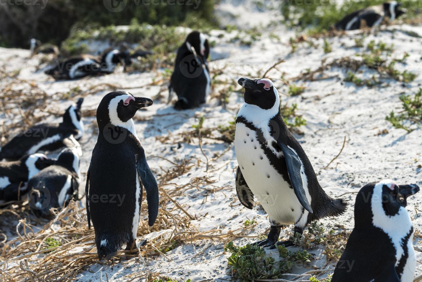 pinguins-burros (spheniscus demersus) foto