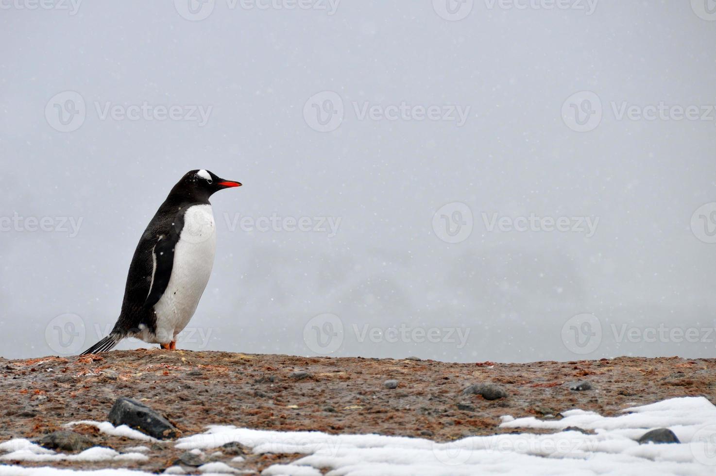 o pinguim-gentoo em pé sobre a rocha foto