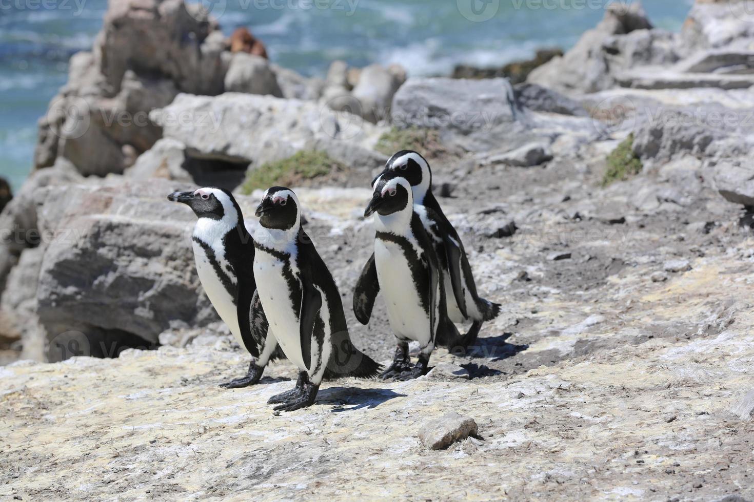 pinguins africanos foto