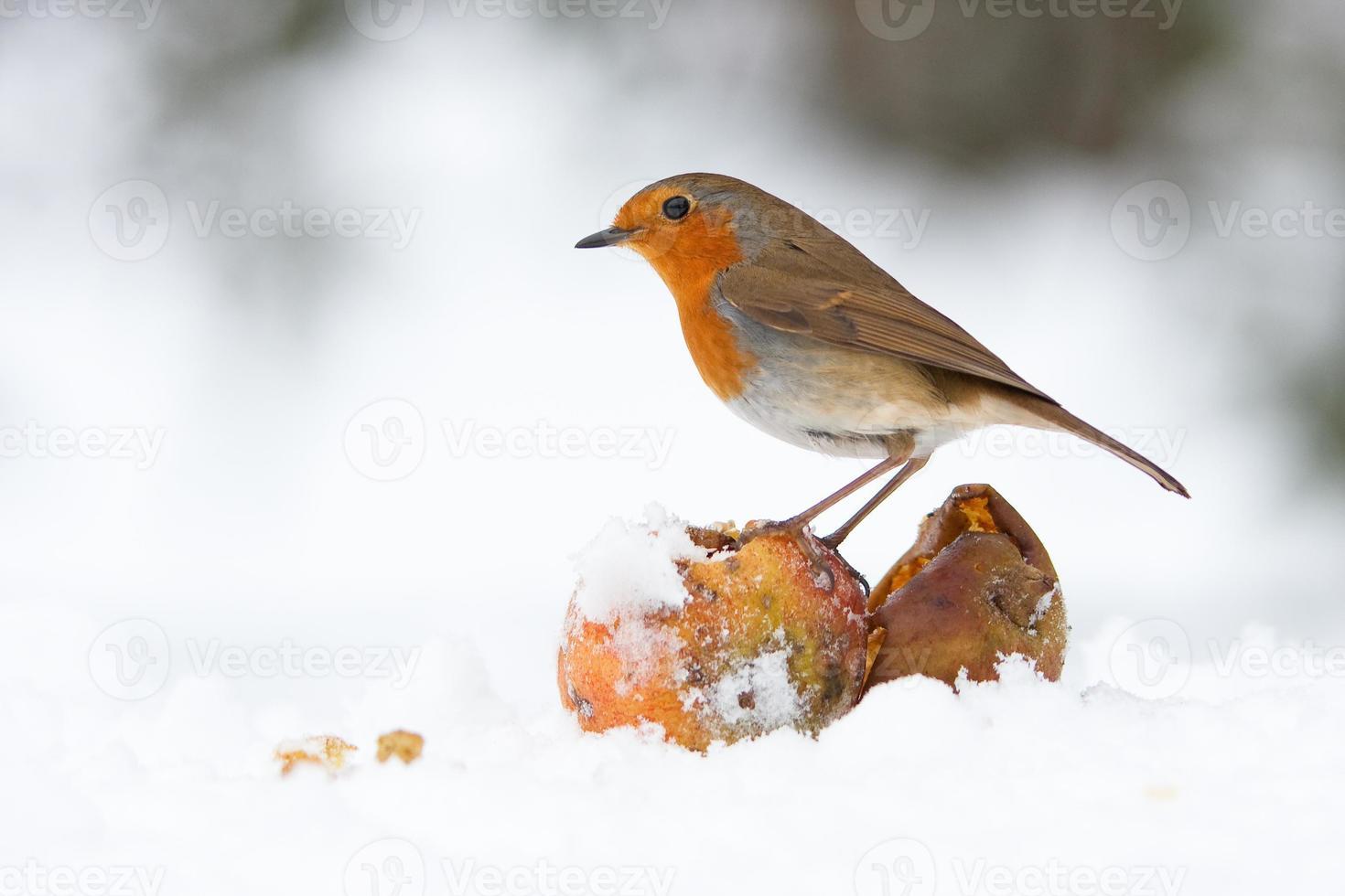 robin de natal redbreast com maçãs na neve do inverno foto