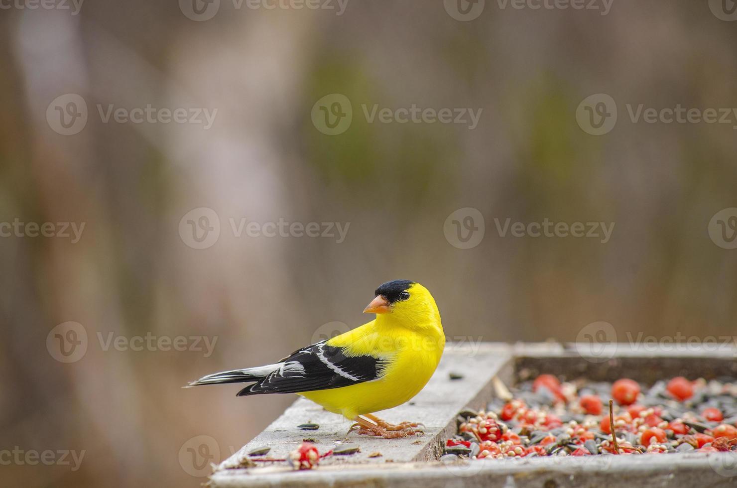 chardonneret jaune foto