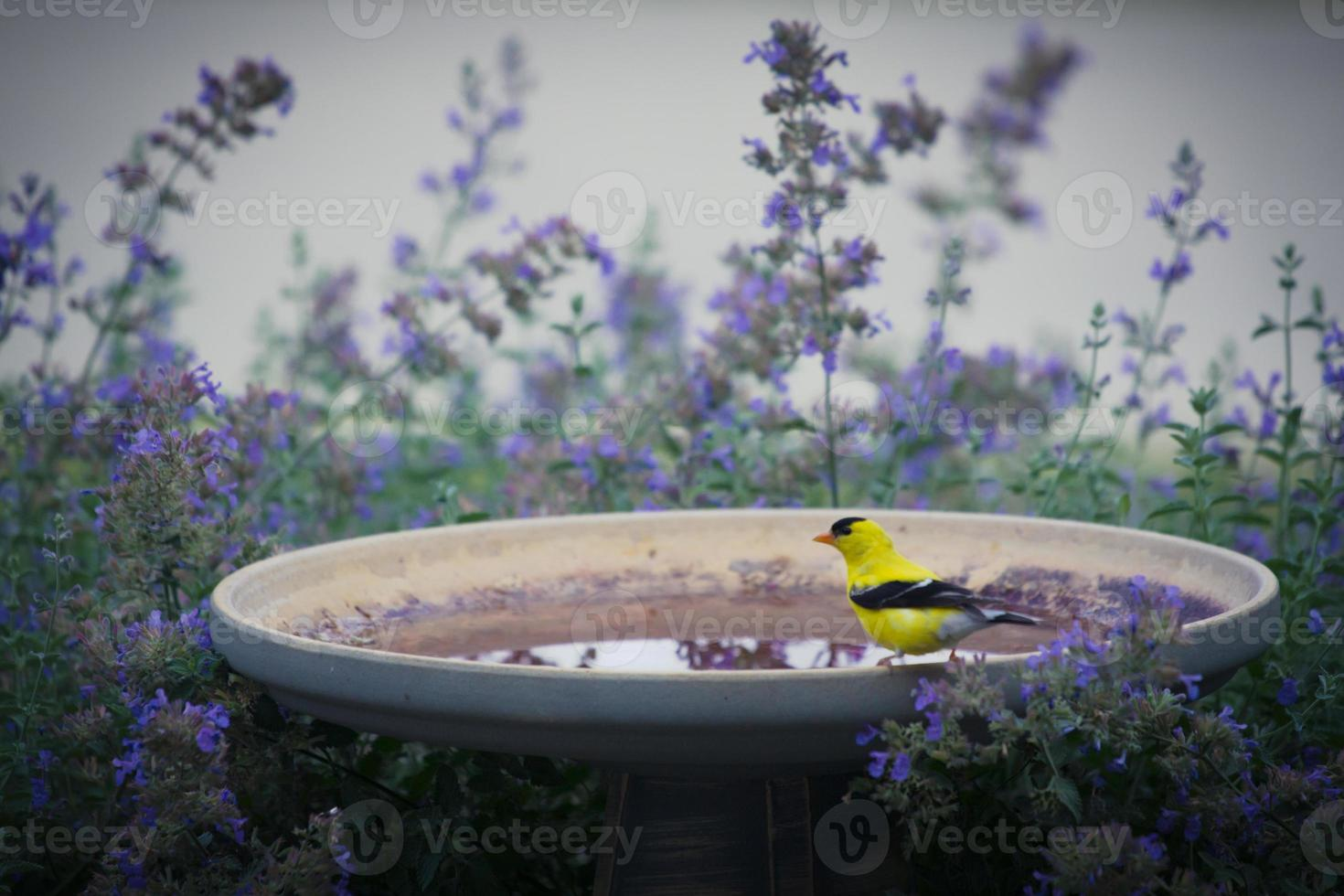 Pintassilgo americano no banho de pássaro foto