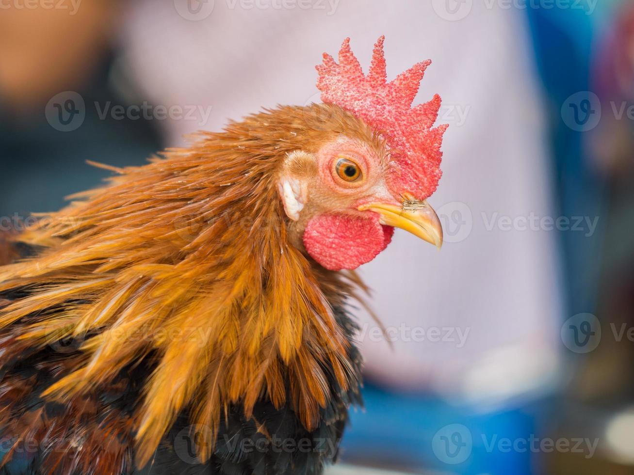 galinha anã da raça local na Tailândia foto