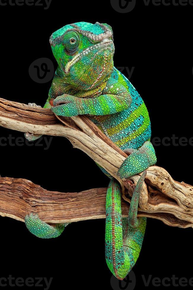 camaleão enrolado em galho foto