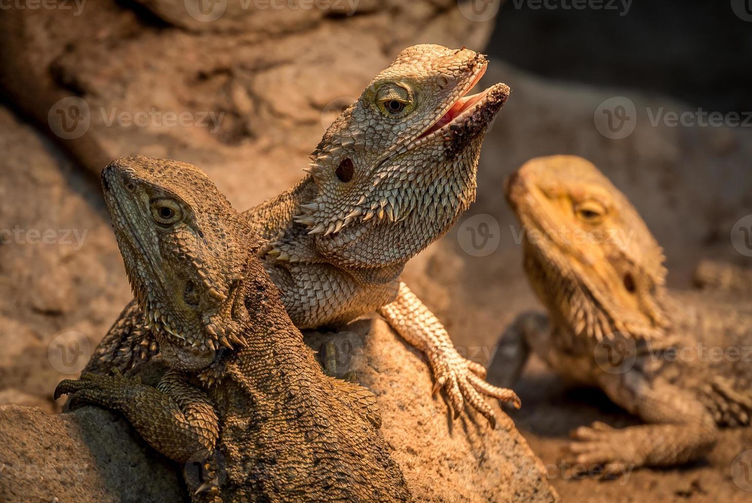 três dragões barbudos foto