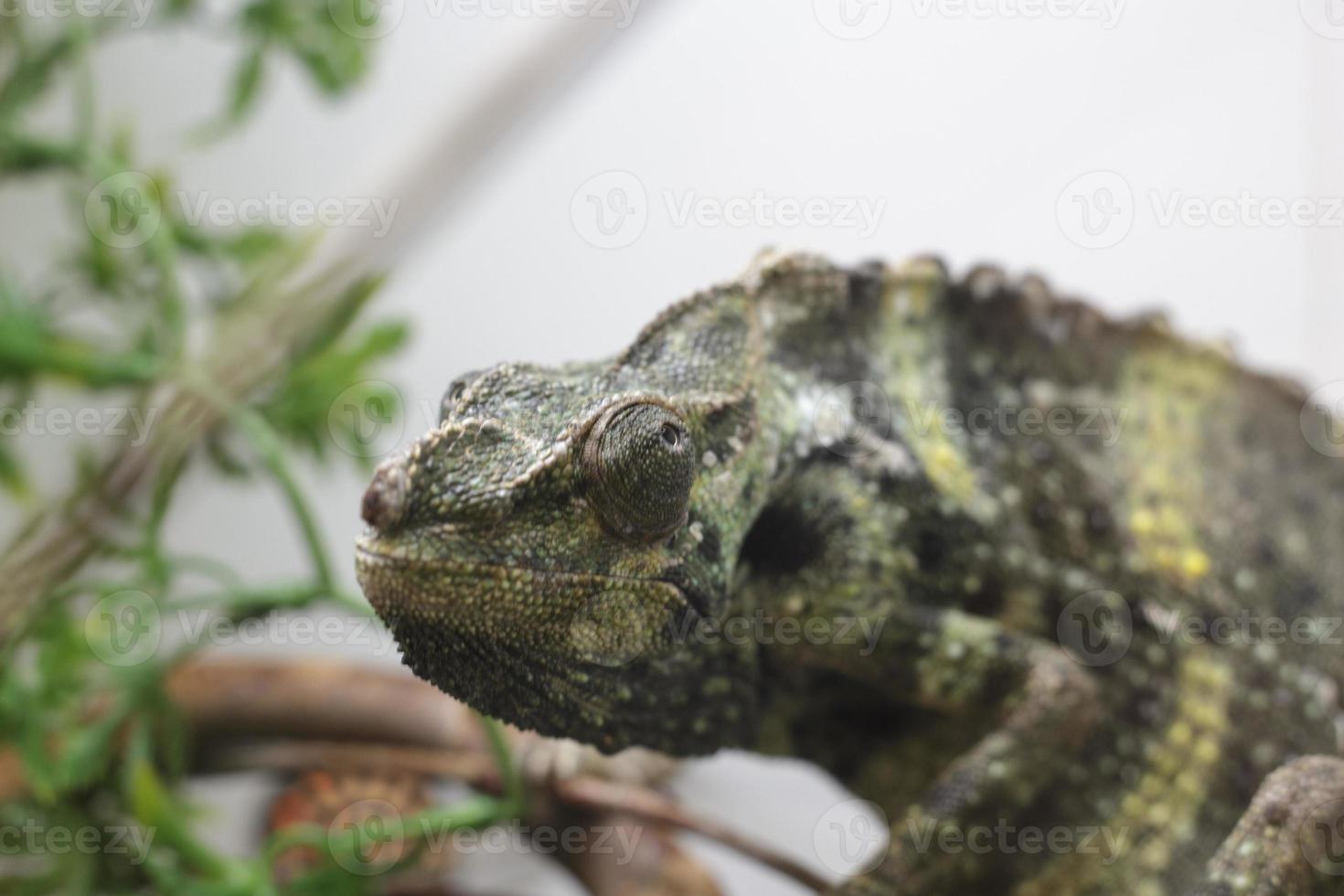 camaleão colorido foto