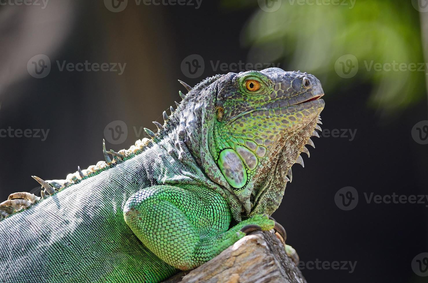 iguana verde feminina foto
