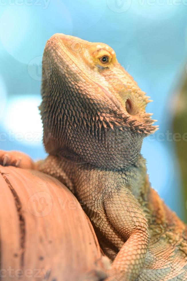 lagarto dragão barbudo foto