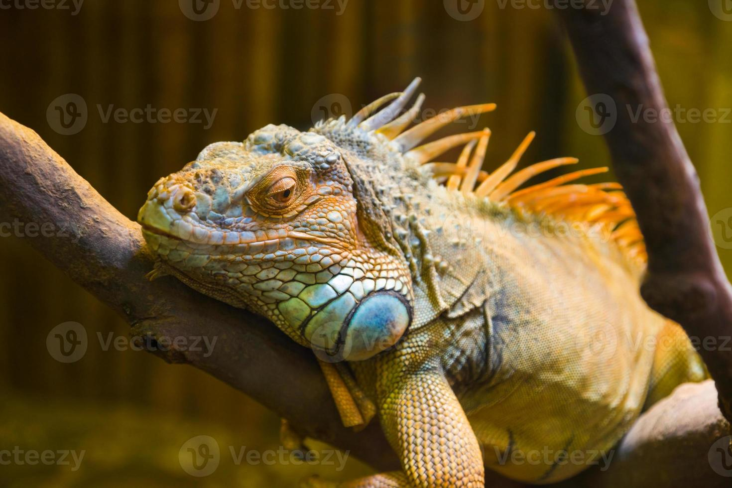 lagarto iguana grande no terrário foto