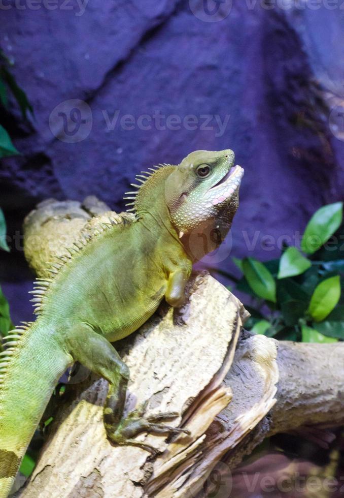 subida de iguana no galho de árvore foto