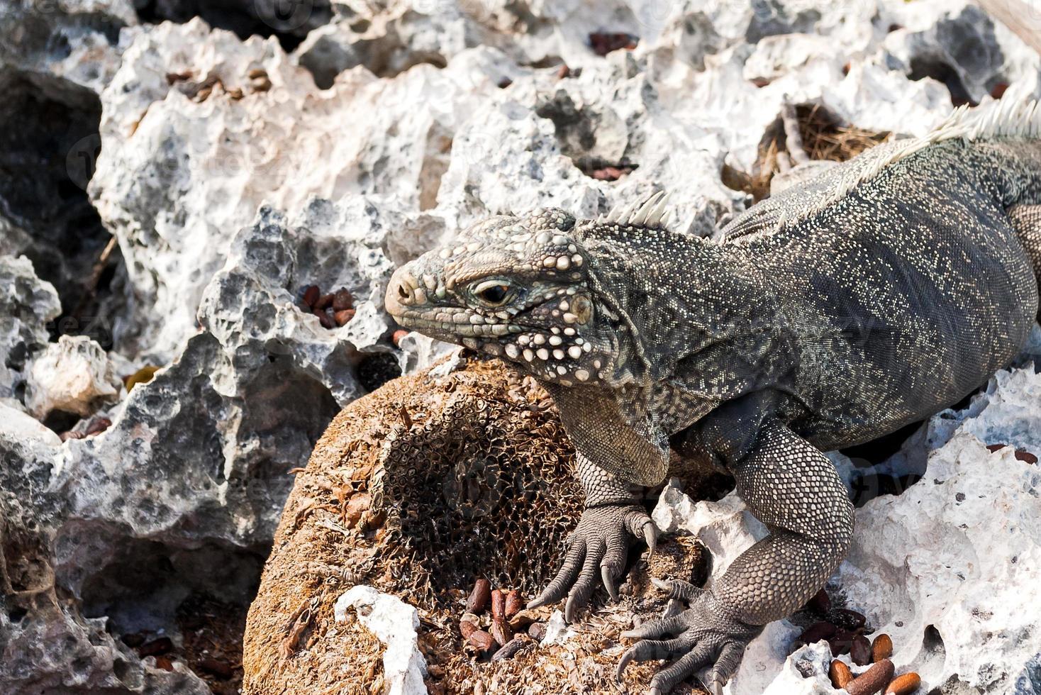 iguana de rocha cubana (cyclura nubile). foto