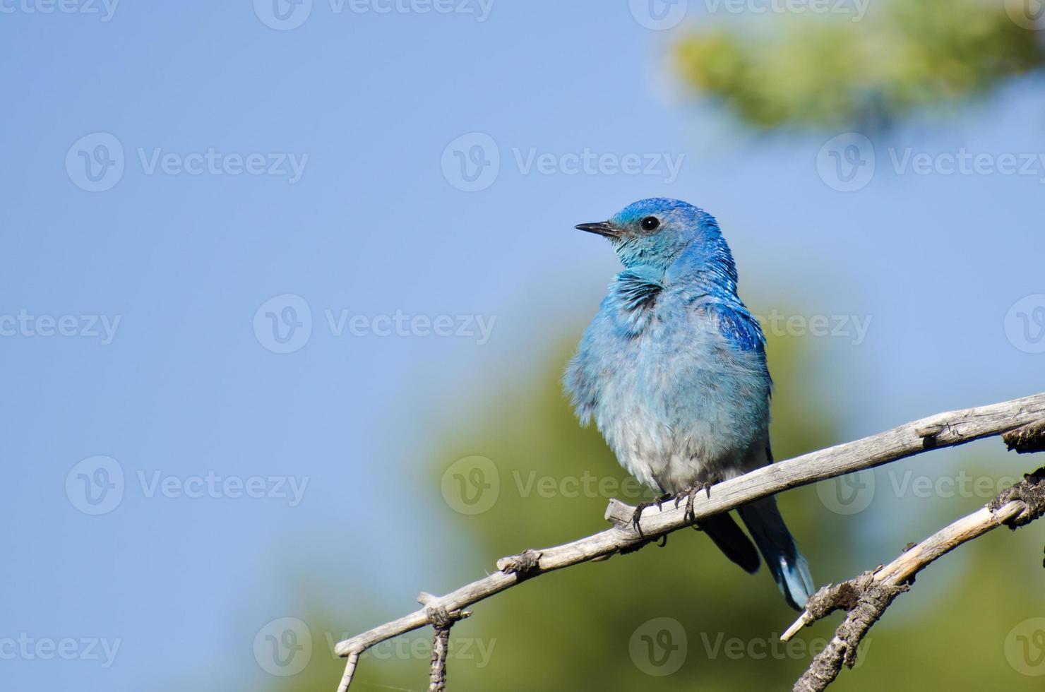pássaro azul da montanha empoleirado em uma árvore foto