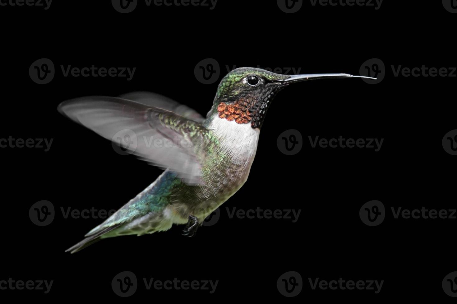 beija-flor-de-garganta-rubi (archilochus colubris) foto