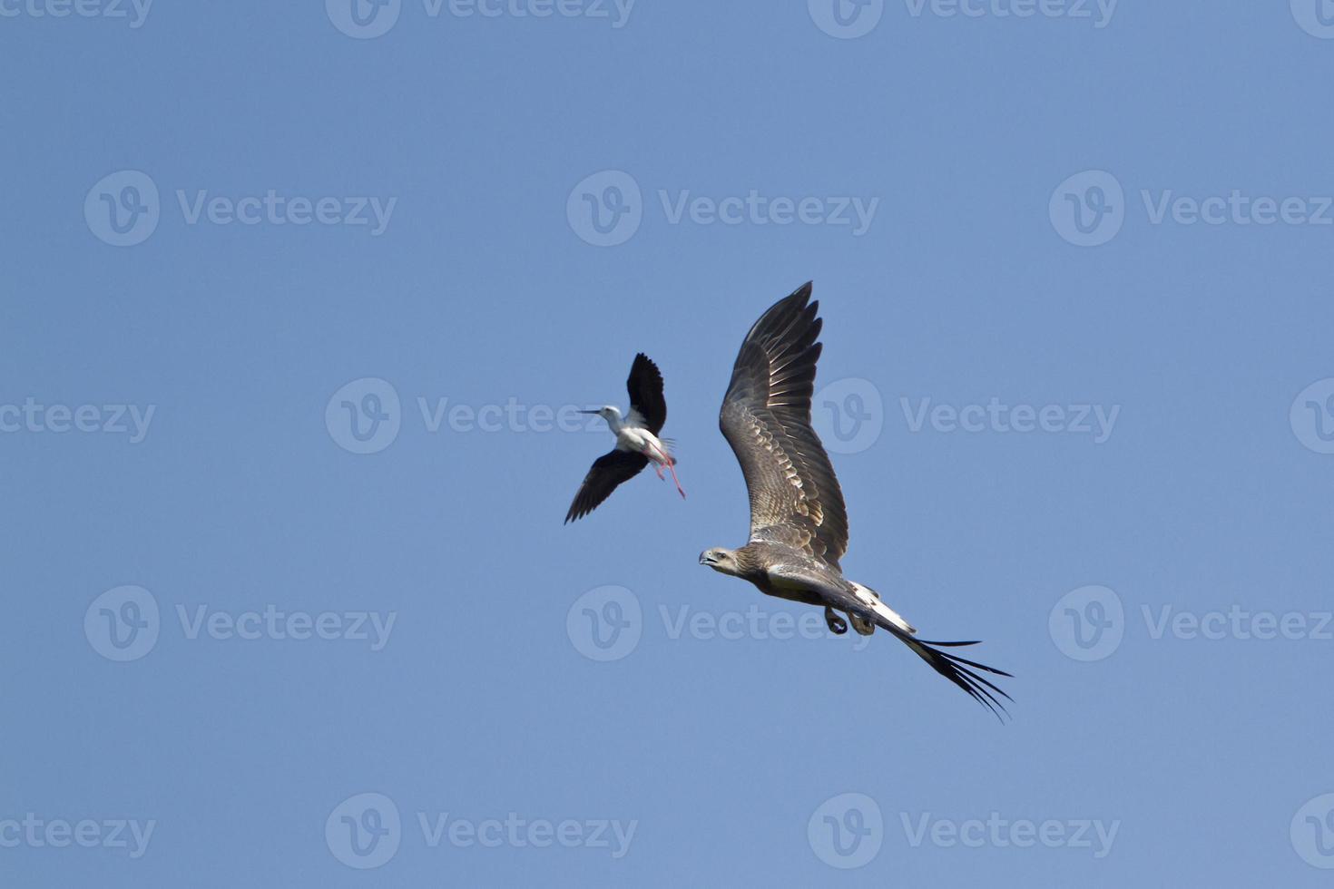 ataque de águia-de-barriga-branca por palafitas em pottuvil, sri lanka foto